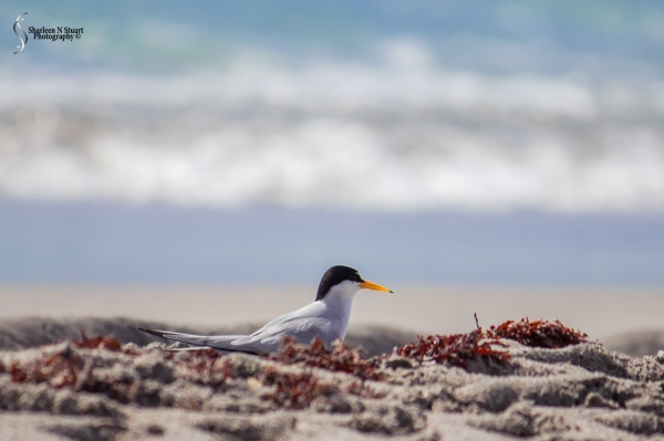 A Tern in amongst the texures of the beach.