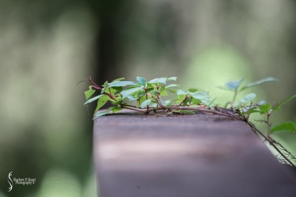 Climbing Leaf