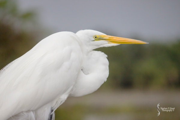 A Great Egret, hanging out on a cold drizzly winters day in Florida, and yes it appears we get those occasionally.