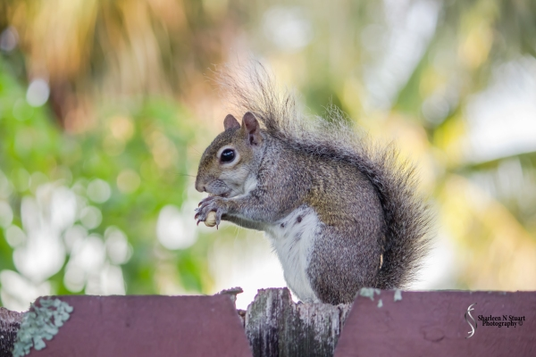 My little girl squirrel will stop by in the morning and evening for her peanuts. She only gets 5 but quite often she is so busy burrying them that by the time she has got back the Blue Jays have stolen all her peanuts. I love the texture of her furry tail.