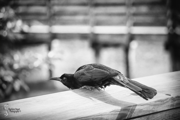 Shadows of a Boat Tailed Grackle