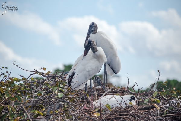 It's mating season at the Wetlands and the Woodstorks once again have taken over the Great Blue Heron rookery.