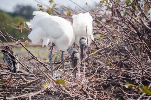 Woodstork tidying up the nest