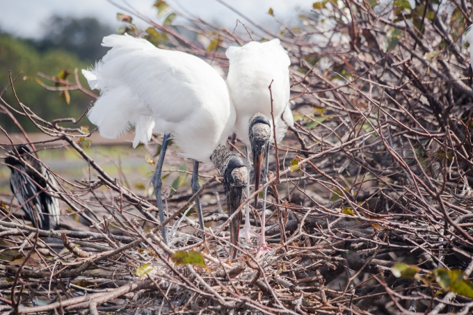 Woodstork tidying up the nest