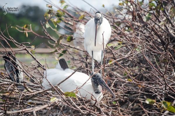 Woodstork settling back into the nest