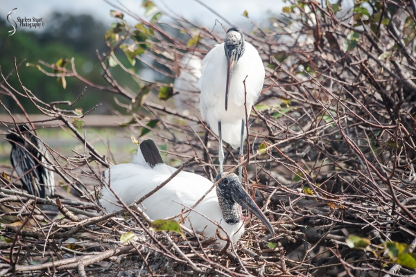 Woodstork settling back into the nest