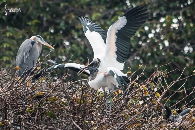 Woodstork doing the tango. New chicks on their way.