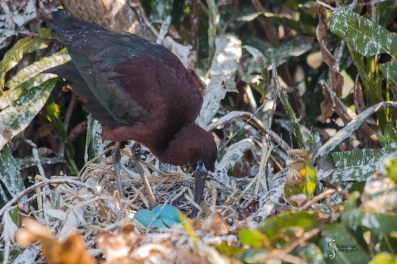 A Glossy Ibis tending her nest.