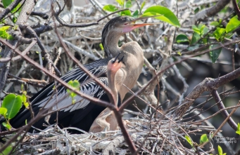 An Anhinga and a new chick.