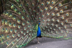 An amazing sight to witness - this peacock paraded for the camera.