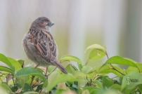 Tiny sparrow like birds nestling in the hedge
