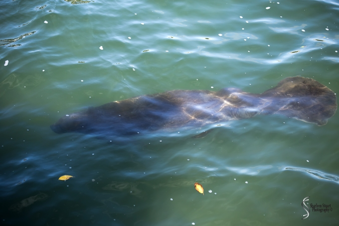 Manatee Lagoon: January 9, 2018: 0791