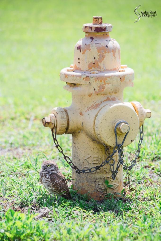 Burrowing Owls: Fort Lauderdale: April 27, 2017:  3120