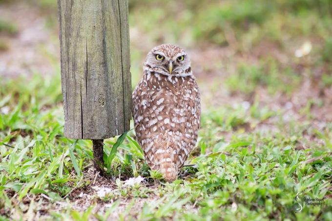 Burrowing Owls: Fort Lauderdale: April 27, 2017: