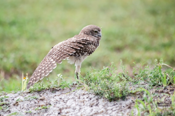 Burrowing Owls: Fort Lauderdale: April 27, 2017:  3189