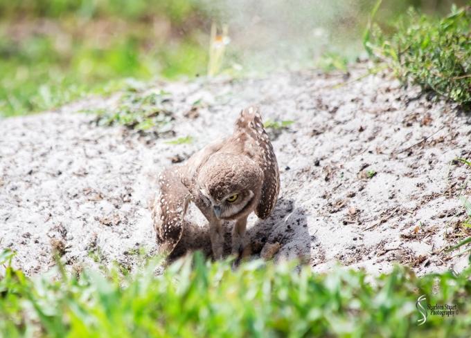 Burrowing Owls: Fort Lauderdale: April 27, 2017:  3213