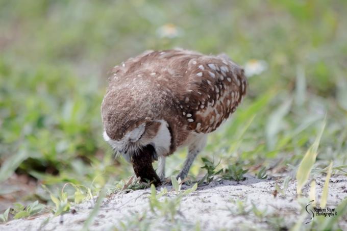 Burrowing Owls: Fort Lauderdale: April 27, 2017:  3220