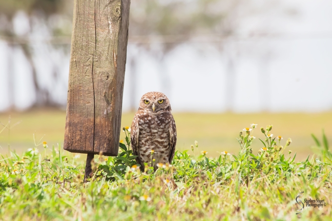 Burrowing Owls: Fort Lauderdale: April 27, 2018:  4529