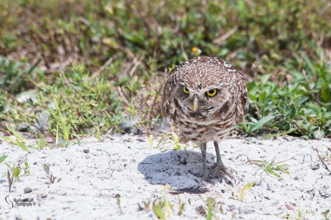 Burrowing Owls: Fort Lauderdale: April 27, 2018:  4536