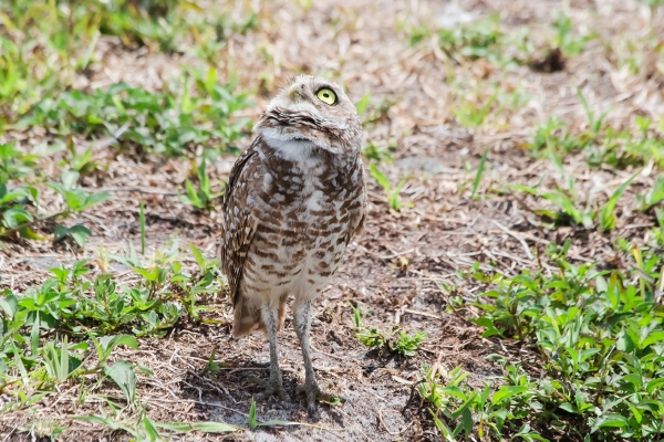 Burrowing Owls: Fort Lauderdale: April 27, 2018:  4542