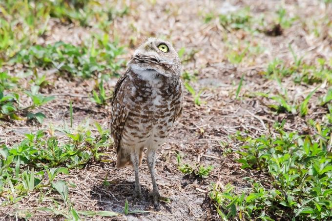 Burrowing Owls: Fort Lauderdale: April 27, 2018:  4542
