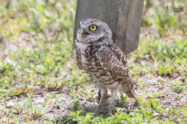Burrowing Owls: Fort Lauderdale: April 27, 2018:  4545