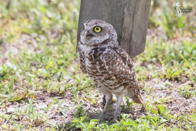 Burrowing Owls: Fort Lauderdale: April 27, 2018:  4545