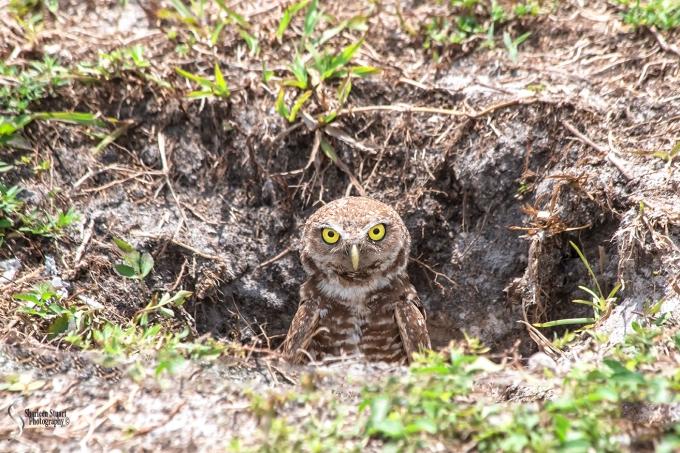 Burrowing Owls: Fort Lauderdale: April 27, 2018: