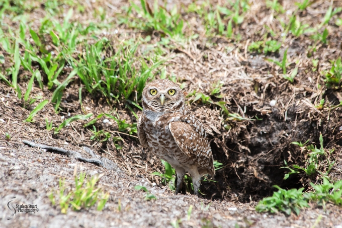 Burrowing Owls: Fort Lauderdale: April 27, 2018:  4554