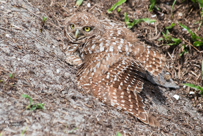 Burrowing Owls: Fort Lauderdale: April 27, 2018:  4557