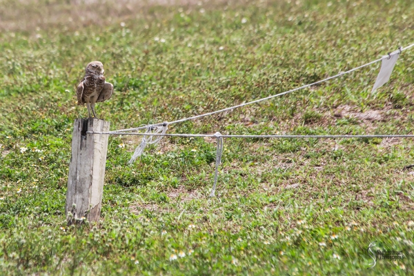 Burrowing Owls: Fort Lauderdale: April 27, 2018:  4566