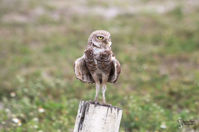 Burrowing Owls: Fort Lauderdale: April 27, 2018:  4572