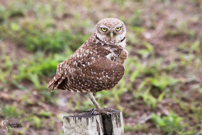 Burrowing Owls: Fort Lauderdale: April 27, 2018:  4579