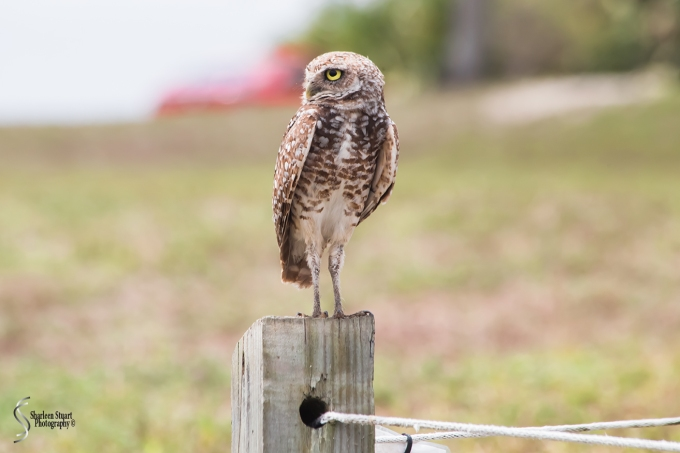 Burrowing Owls: Fort Lauderdale: April 27, 2018:  4596