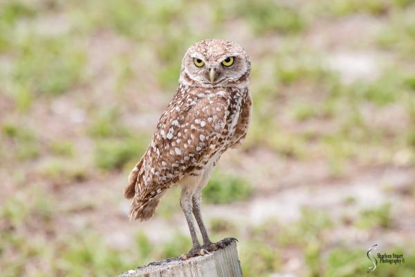 Burrowing Owls: Fort Lauderdale: April 27, 2018:  4600
