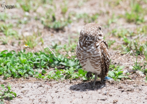 Burrowing Owls: Fort Lauderdale: April 27, 2018:  4626