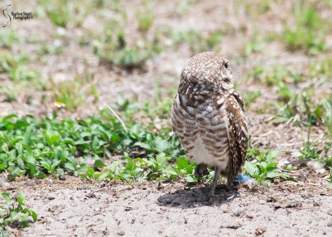 Burrowing Owls: Fort Lauderdale: April 27, 2018:  4626