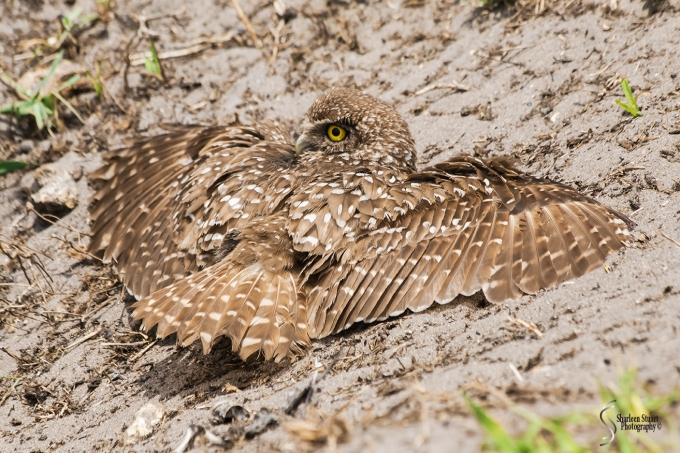 Burrowing Owls: Fort Lauderdale: April 27, 2018:  4627
