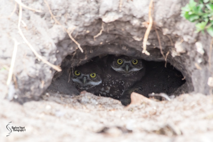 Burrowing Owls: Fort Lauderdale: April 27, 2018:  4629