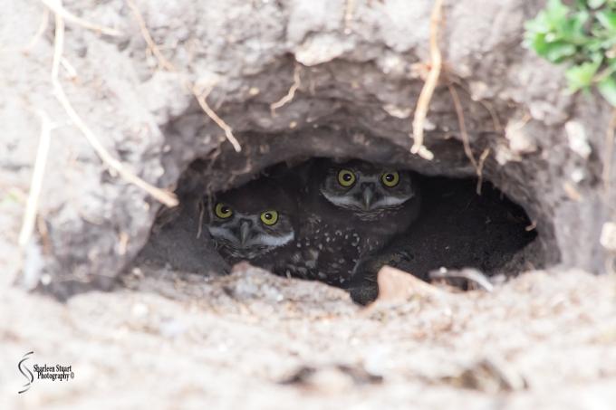 Burrowing Owls: Fort Lauderdale: April 27, 2018:  4629