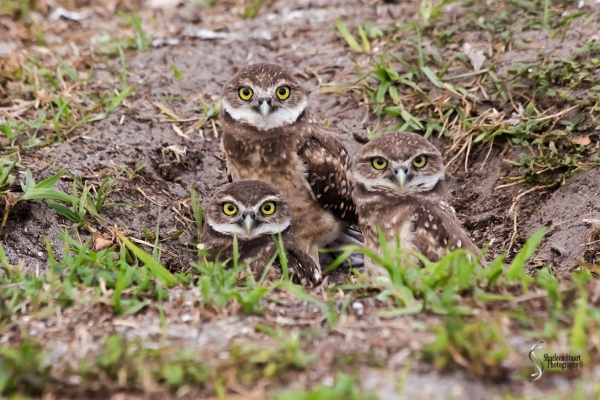 Burrowing Owls: Fort Lauderdale: April 27, 2018:  4647