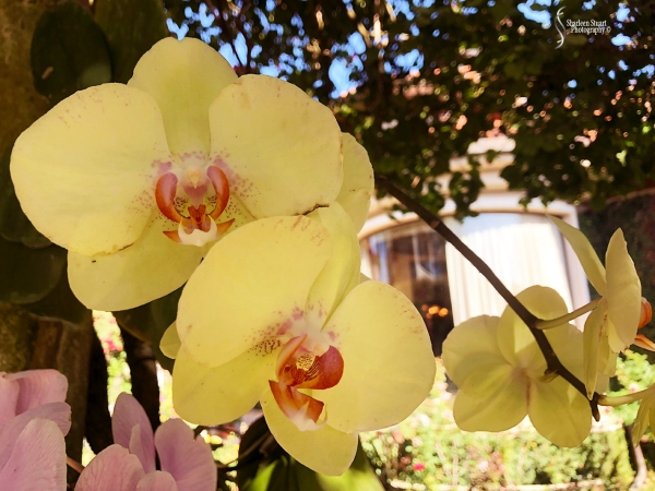 Orchids:  May 8, 2018: 9123