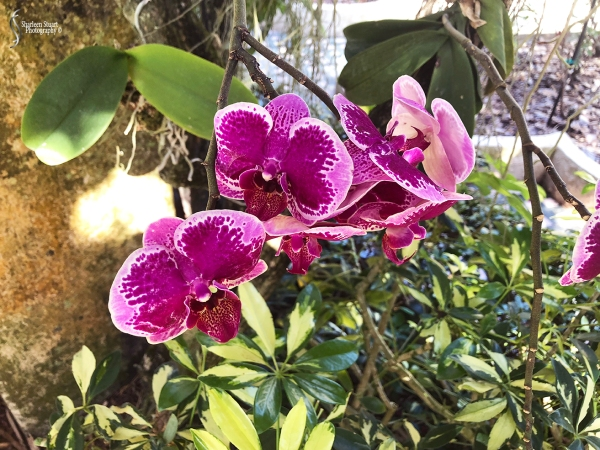 Orchids:  May 8, 2018: 9124
