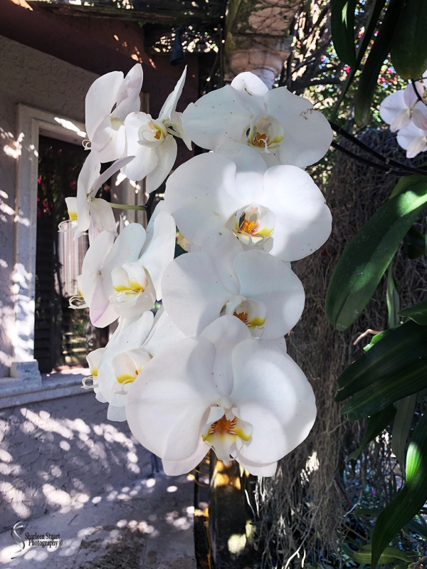 Orchids:  May 8, 2018: 9126