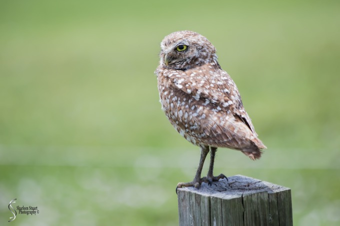Burrowing Owls: Fort Lauderdale: May 17, 2019: 5065