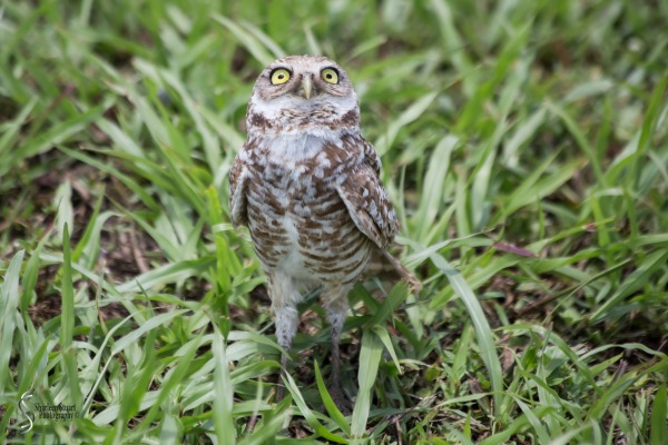 Burrowing Owls: Fort Lauderdale: May 17, 2019: 5069