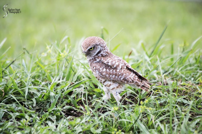 Burrowing Owls: Fort Lauderdale: May 17, 2019: 5076