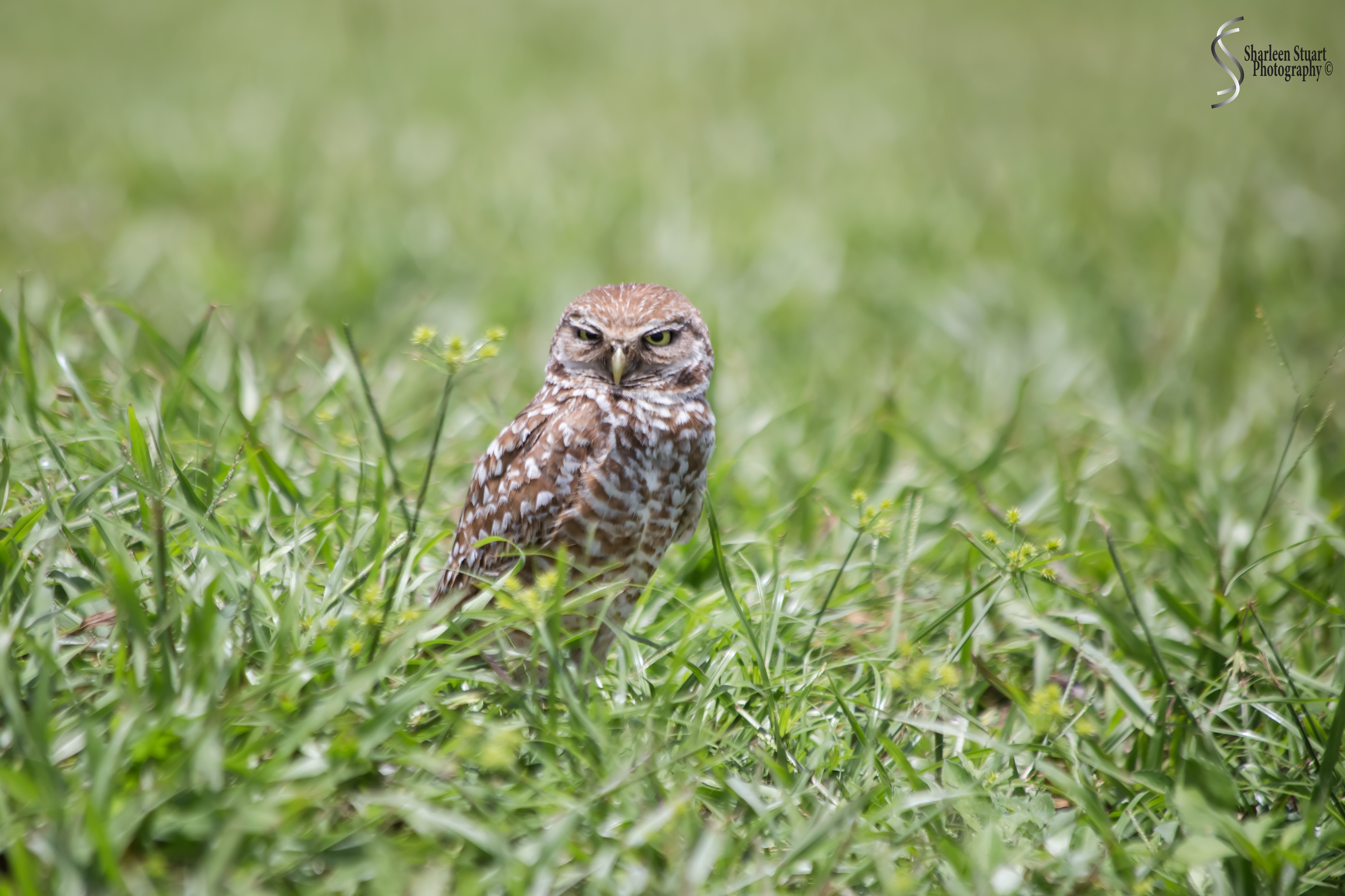 Burrowing Owls: Fort Lauderdale: May 17, 2019: 5123