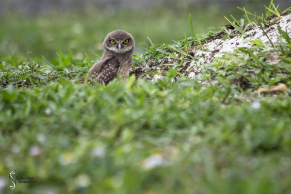 Burrowing Owls: Fort Lauderdale: May 17, 2019: 5133