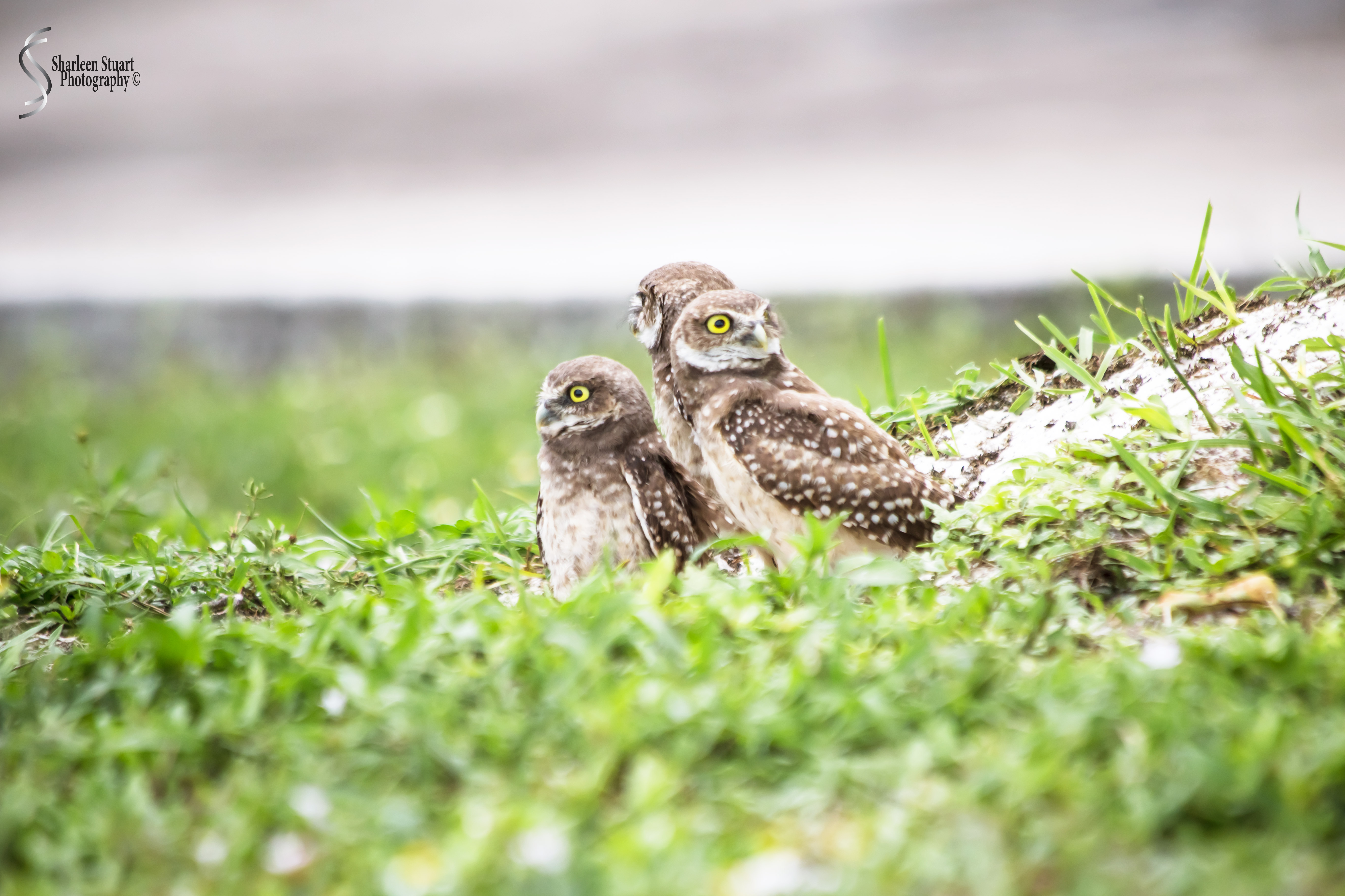 Burrowing Owls: Fort Lauderdale: May 17, 2019: 5137
